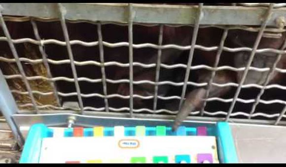 Preview thumbnail for video'Orangutan Plays Xylophone Like a Pro