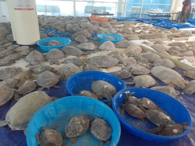 Thousands of sea turtles are pictured here laying on tarps and in kiddie pools after they were rescued from frigid temperatures in Texas