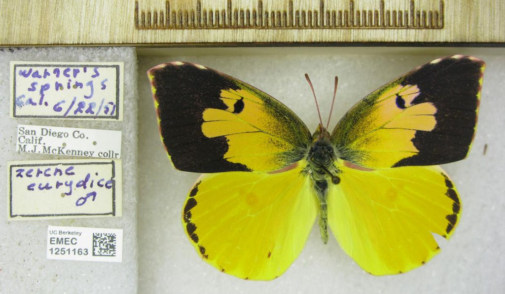 Pictured is a Zerene eurydice specimen, or California dogface butterfly, caught in 1951.