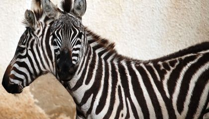 Is this a two-headed zebra?