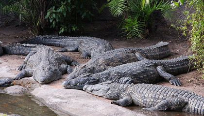 Forced Closer to Humans, Crocodiles Face Their Greatest Existential Threat