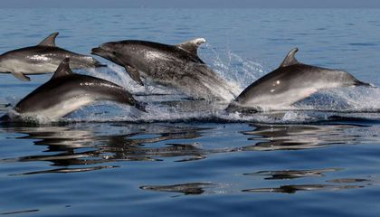 Cliquey Adriatic Dolphins May Have Strategies for Avoiding Each Other