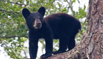 A Puzzling Brain Disease Is Killing Black Bears in the Western United States