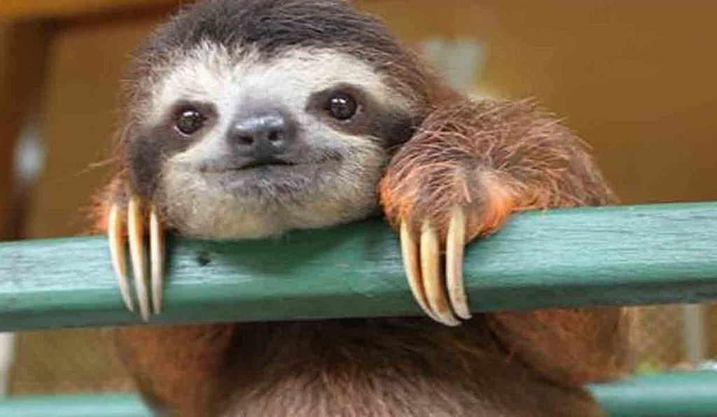 Although they're technically considered mammals, sloths share a surprising number of characteristics with reptiles, birds and even rocks (both are covered in algae)