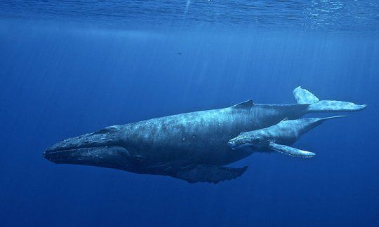 Why Mother and Baby Humpback Whales Whisper to One Another ...