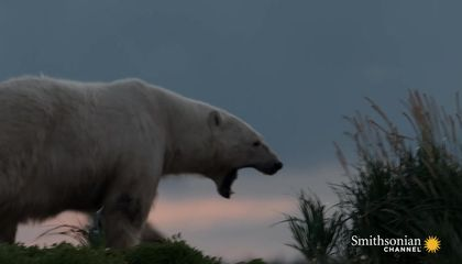 A Tense Encounter Becomes a Perfect Polar Bear Photo Op