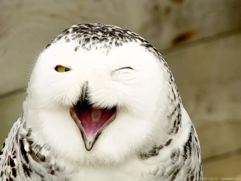 New York Decides Shooting Snowy Owls Is Not The Best Choice After