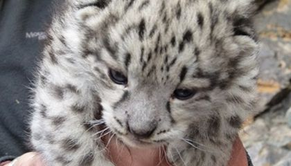 First Ever Video of Wild Snow Leopard Mother and Cubs