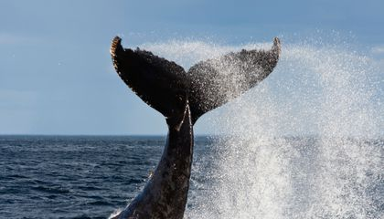Today's Whales Are Huge, But Why Aren't They Huger?