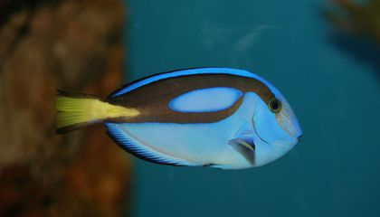 """Conservationists Are Worried That """"Finding Dory"""" Could Be Bad for Exotic Fish"""