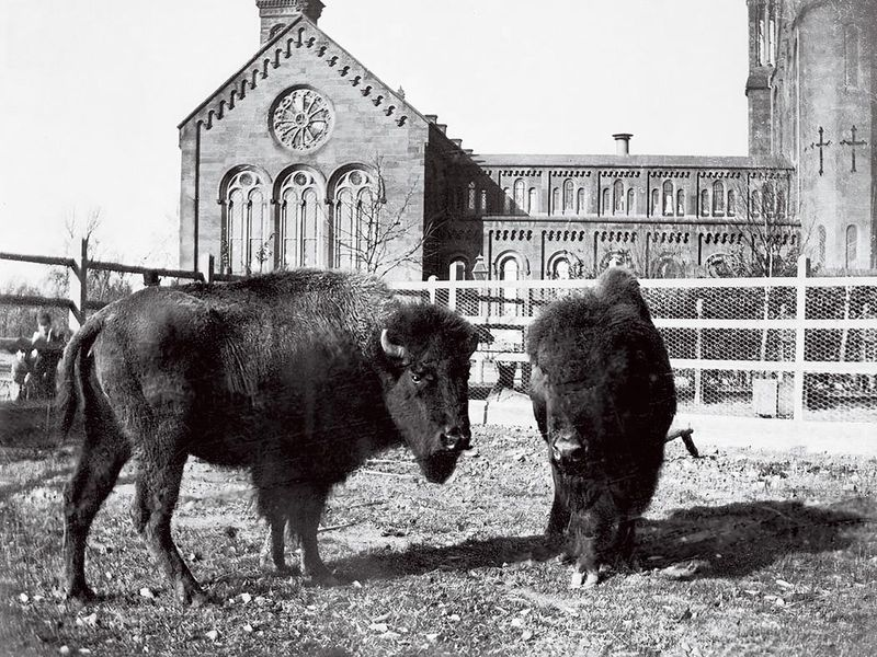 Bison at Smithsonian Castle