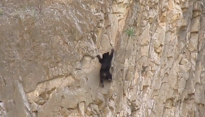 Watch This Bear Cub Rock Climb!