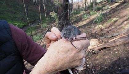Australian Mouse Feared Extinct After Fires Found Alive