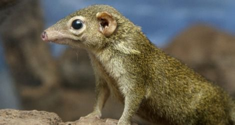 A tree shrew recently born at the National Zoo