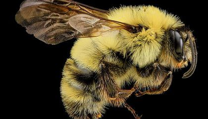 Bumblebees Are Getting Squeezed by Climate Change
