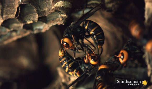 Preview thumbnail for video'Two Giant Killer Hornet Colonies Battle to the Death