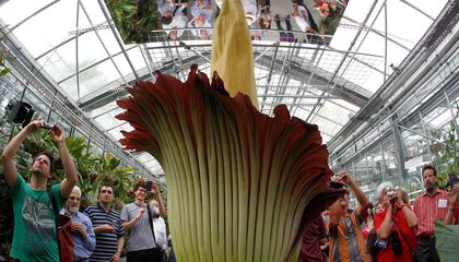 Chicago's Corpse Flower Is Kind of a Disappointment
