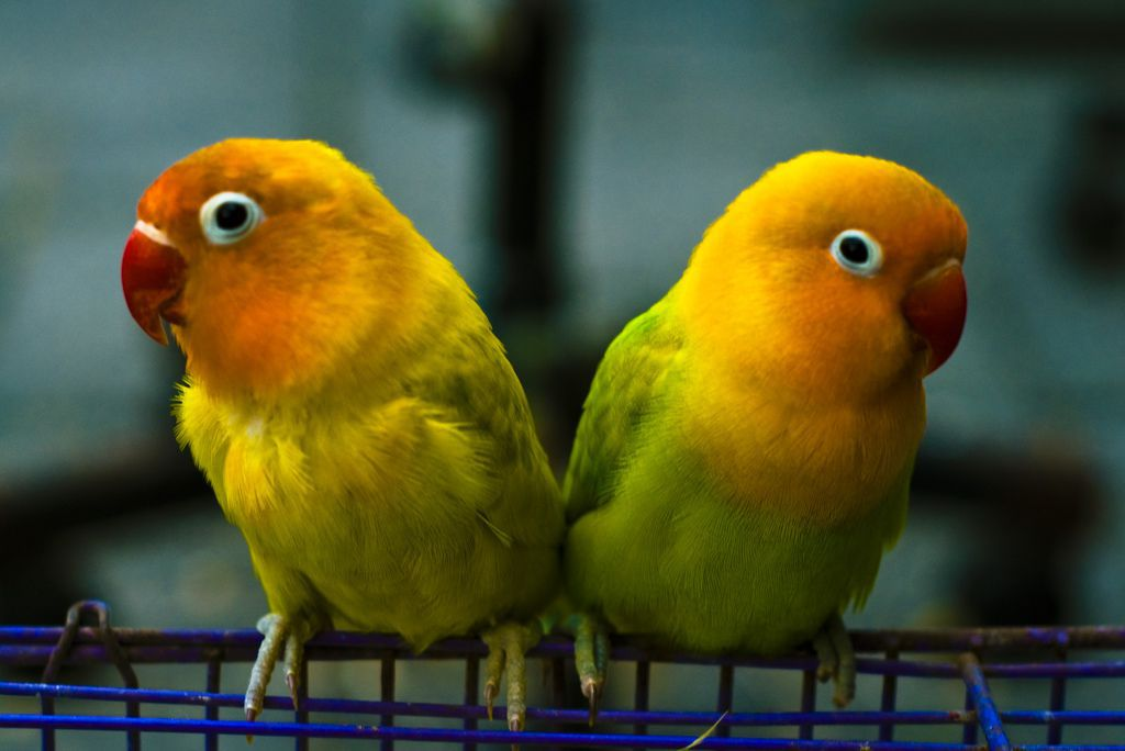 14 Fun Facts About Lovebirds Science Smithsonian Magazine