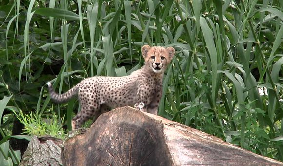 Preview thumbnail for video'Cheetah Cubs Make Their Debut at the National Zoo