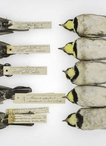 Caption: Sooty Bird Feathers Capture History of Pollution