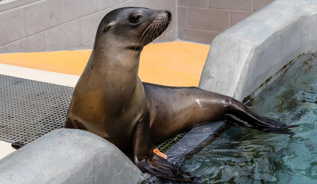 California sea lion Yakshack is one of 220 patients at The Marine Mammal Center in Sausalito, CA, that has been rescued so far this year impacted by a bacterial disease known as leptospirosis. The Center has been at the forefront of research on leptospirosis in marine mammals and has published a number of scientific papers on the disease dating back to 1985.
