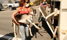 Hungry Goats Helped Save the Reagan Library from a California Wildfire