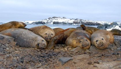 group of seals on a rocky beach.
