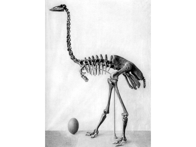 A drawing of an elephant bird's skeleton in black and white. It looks similarly to an ostrich's skeleton. It has an egg positioned at its feet.