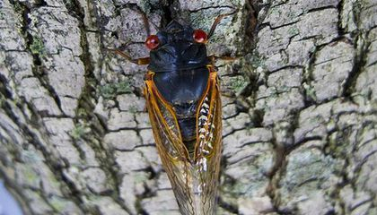 After 17 Years, the Northeast Is About to Be Blanketed by a Swarm of Cicadas