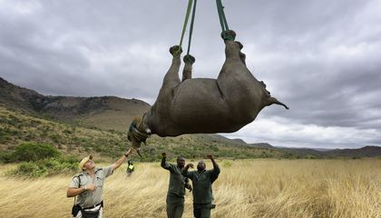 Rhinos Will Be Airlifted to Australia to Avoid Poachers