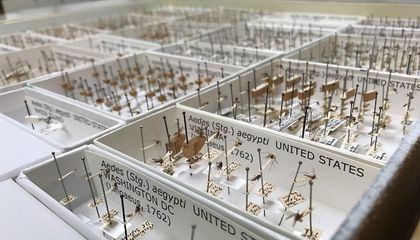 A drawer of pinned adult mosquitoes from the Smithsonian's National Museum of Natural History's National Mosquito Collection. The specimens shown here were digitized recently. Meaning, their bionomic information is databased and individual specimens are cataloged. (David Pecor, WBRU)