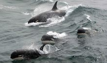 A New Orca Species May Have Been Spotted Off the Coast of Chile
