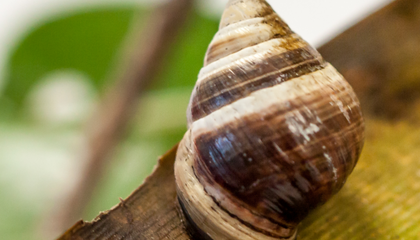 A Hawaiian Snail Named George, Believed to Be the Last of His Species, Has Died
