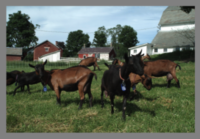 Hay Fever: Goat Farming and Cheesemaking in Vermont | Arts & Culture