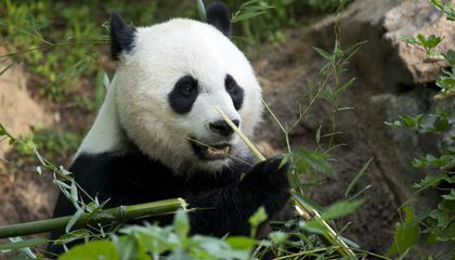 Is There a New Baby Panda Due at the National Zoo?