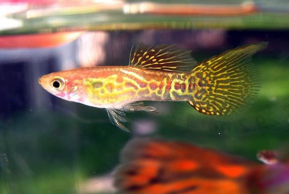 dead male guppies can make babies smart news smithsonian