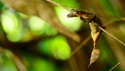 Newly Discovered Leaf-Tailed Gecko From Madagascar Is Already Threatened by Pet Trade