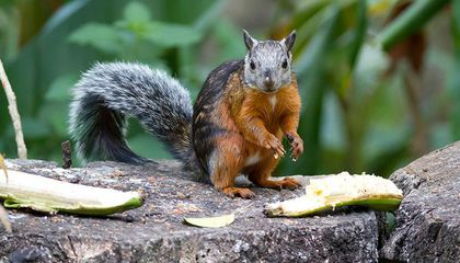 A Squirrel Virus May Have Killed Three Squirrel Breeders in Germany
