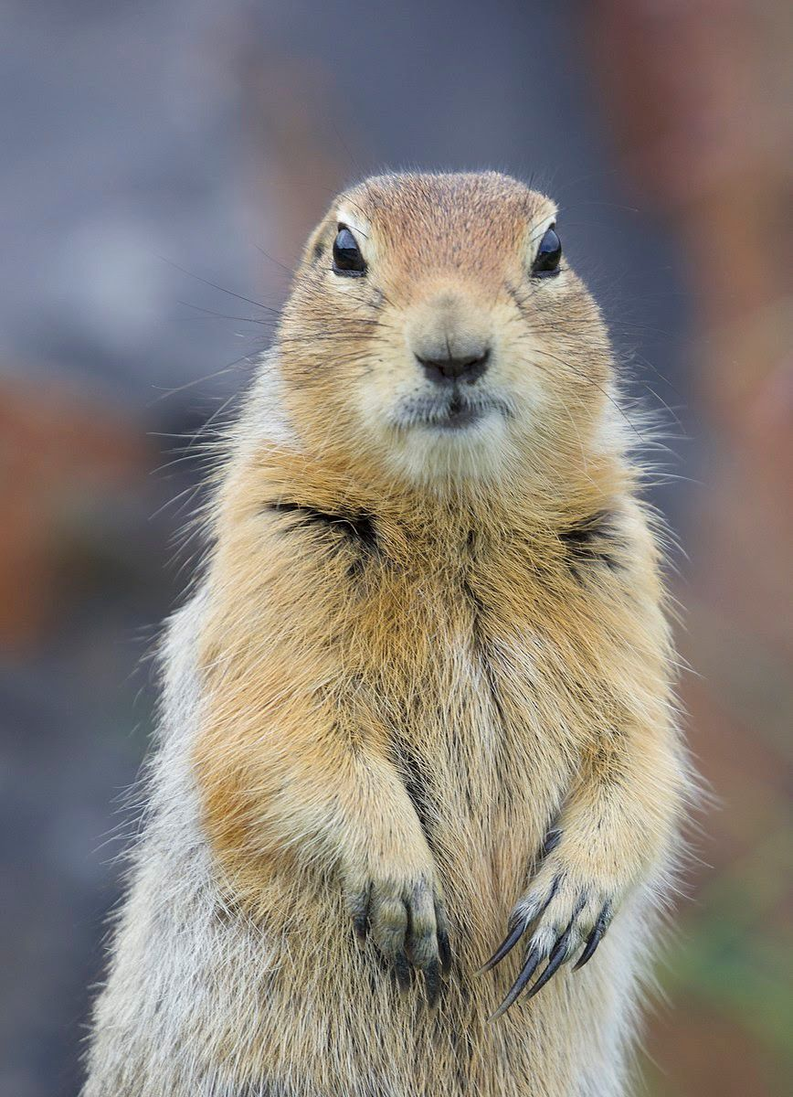 A squirel standing on its hind legs.