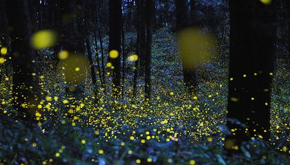The Beautiful Flight Paths of Fireflies