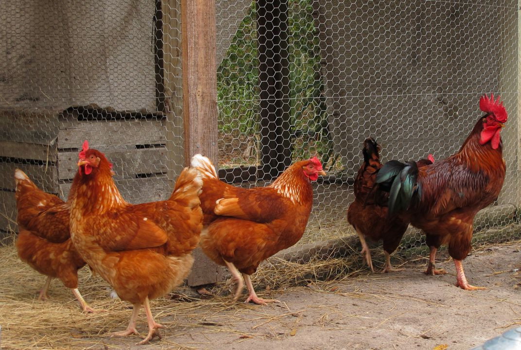 14 Fun Facts About Chickens Science Smithsonian Magazine