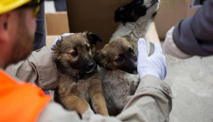 Chernobyl Puppies Going Up for Adoption in the U.S.