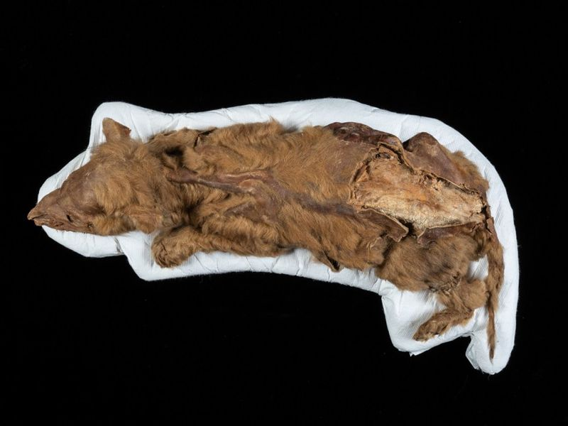 An aerial photo of Zhùr's body. She lays on a white sheet with a black background. Her fur is light brown, and her bones jut out near her back legs. She is laying down, like she was asleep when she died.