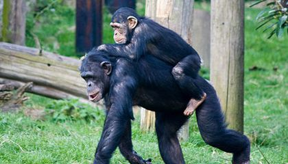 What Chimps Could Tell Us About How Humans Started Walking on Two Legs
