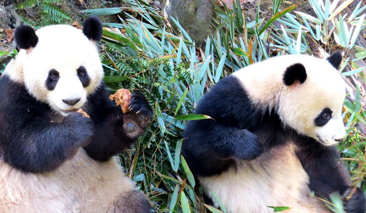 Learning More About Panda Health One Drop Of Blood At A Time Smithsonian Voices National Zoo Smithsonian Magazine