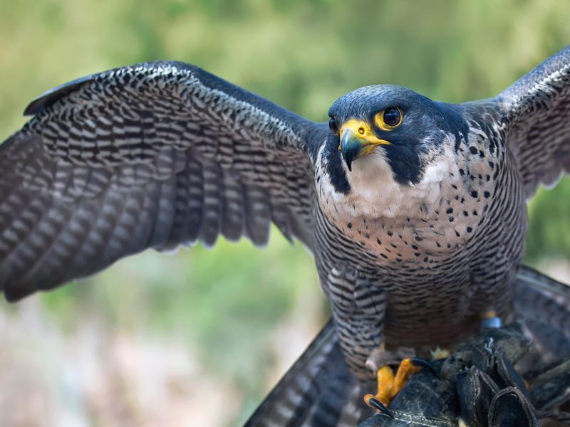 Ten Fun Facts About Falcons The Birds Science Smithsonian