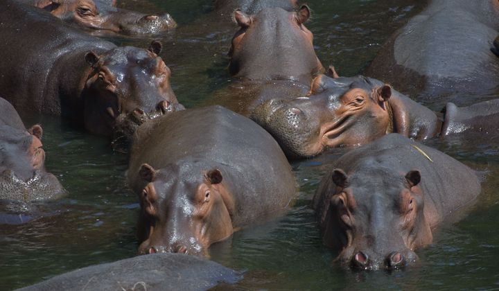 Anthrax May Have Caused Die-off of Namibian Hippos