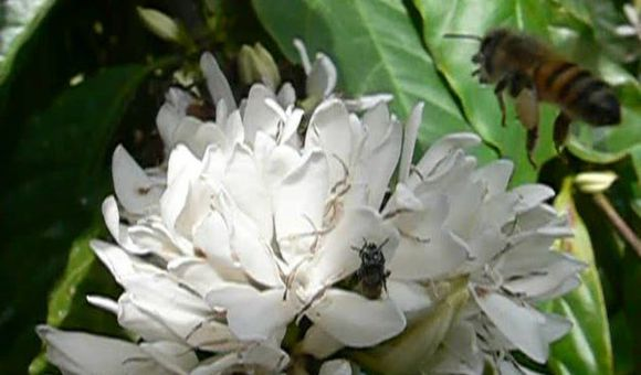 Preview thumbnail for video'Bees Drink Nectar From a Coffee Flower
