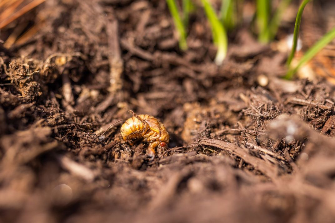 A 17-year brood X cicada emerging from the dirt.