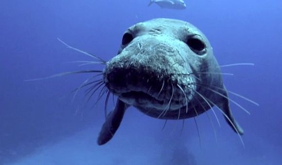 Preview thumbnail for video'Saving the Endangered Monk Seal